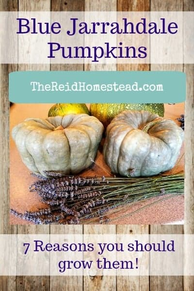 7 Reasons why you MUST grow some Blue Jarrahdale Pumpkins! ~The Reid Homestead #pumpkins #bluepumpkins #jarrahdalepumpkins #wintersquash #growyourownfood #vegetablegardening