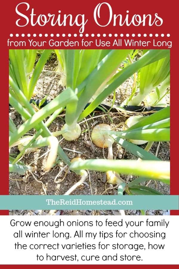 How to grow, store and eat your home grown onions all through the winter! ~The Reid Homestead #howtostoreonions #storageonions #keepingonions #onionvarieties #coldstorage #foodpreservation #growyourownfood