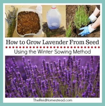 lavender plants with text overlay How to Grow lavender From Seed Using the winter sowing method