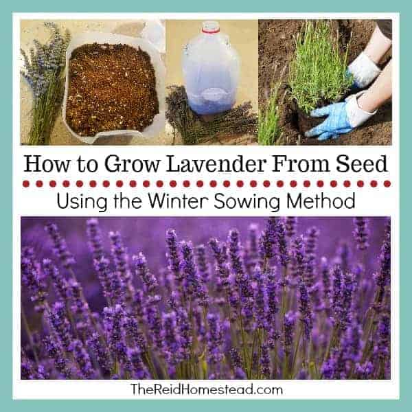 How to Grow Lavender from Seed using the Winter Sowing Method