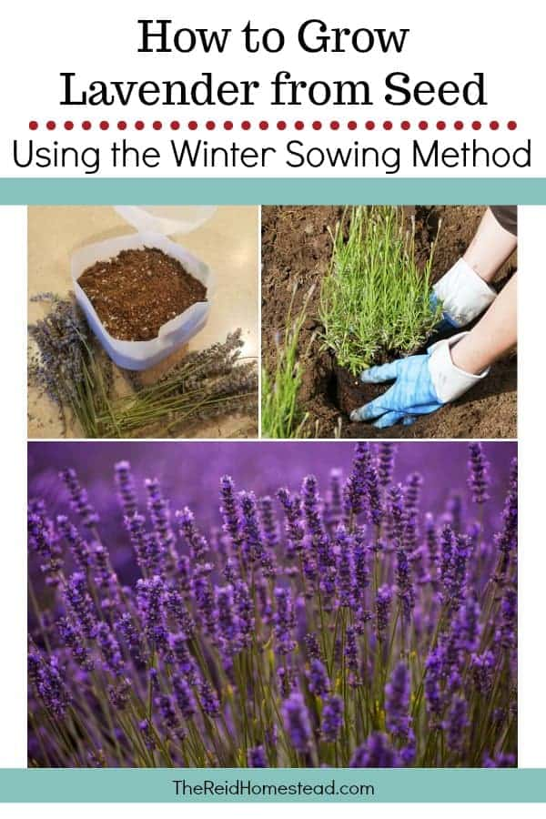 Learn how to grow lavender from seed, using the winter sowing method! ~The Reid Homestead #lavender #startinglavenderseed #wintersowing #wintersowinglavender