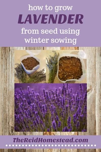 Growing lavender from seed is easy using the winter sowing method! Check out my tips and tricks to learn how! ~The Reid Homestead #lavender #wintersowing #seedstaring #perennial #gardening #garden