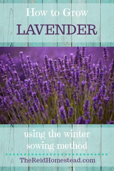 Learn how to use the winter sowing method to grow lavender from seed....the easy way!!! Winter sowing is using milk jugs as mini greenhouses, plant that seed, set it outdoors and forget about until spring! No fancy seed starting equipment needed! ~The Reid Homestead #lavender #plantinglavender #lavendar #growinglavender #plantinglavenderseed #growinglavenderseed #wintersowing #wintergardening