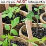 """tomato starts with text overlay """"how to harden off seedlings"""""""