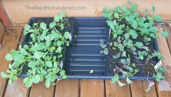 brassica seedlings hardening off