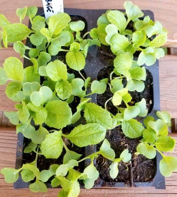 chinese cabbage seedlings ready to be hardened off
