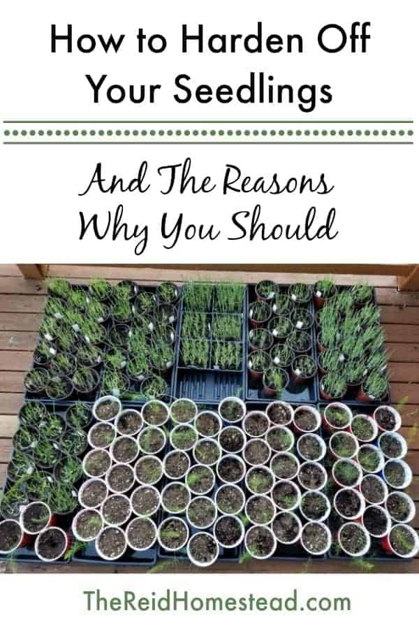 pinterest pin image on how to harden off seedlings