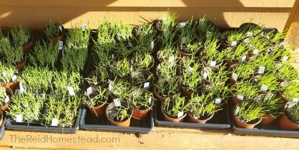 onion seedlings hardening off