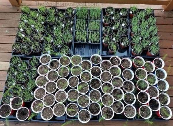 onion and asparagus seedlings hardening off