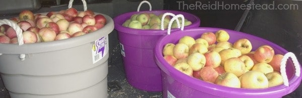 3 large rubber bins full of harvested apples