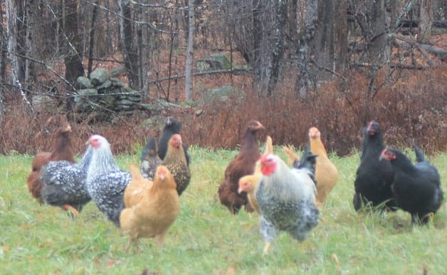 flock of chickens free ranging on grass