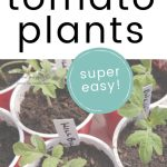 close up of tomato seedlings with text overlay How to Get Free Tomato Plants