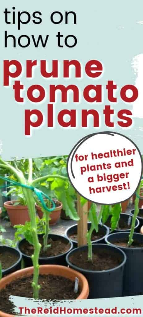 tomato plants growing in pots with text overlay how to to prune tomato plants