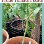tomato plant with text overlay how and why you should prune tomato plants