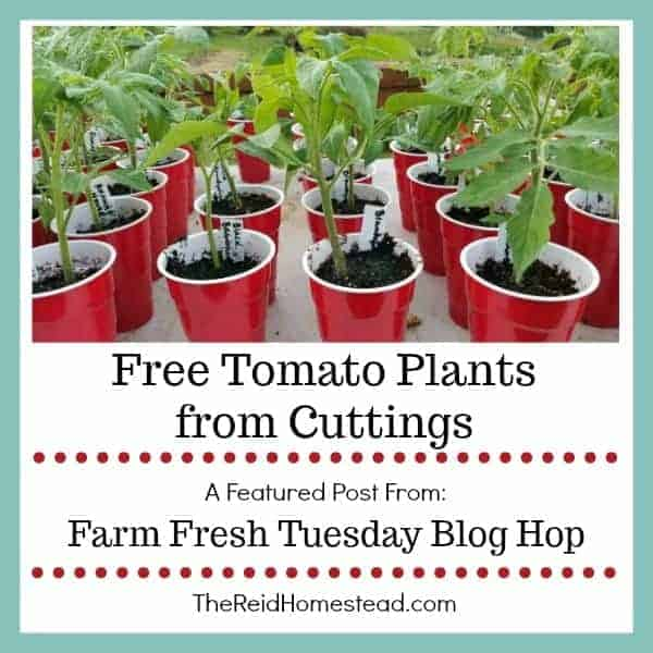 tomato seedlings in red solo cups with text overlay Free Tomato Plants from Cuttings