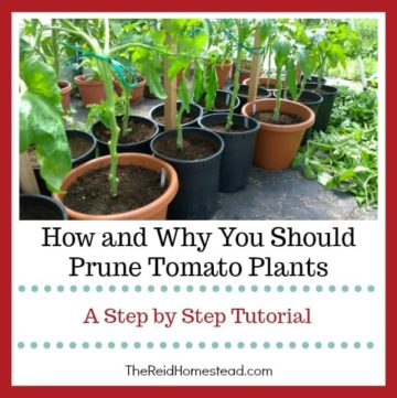 pruned tomato plants with text overlay How and Why You Should Prune Tomato Plants