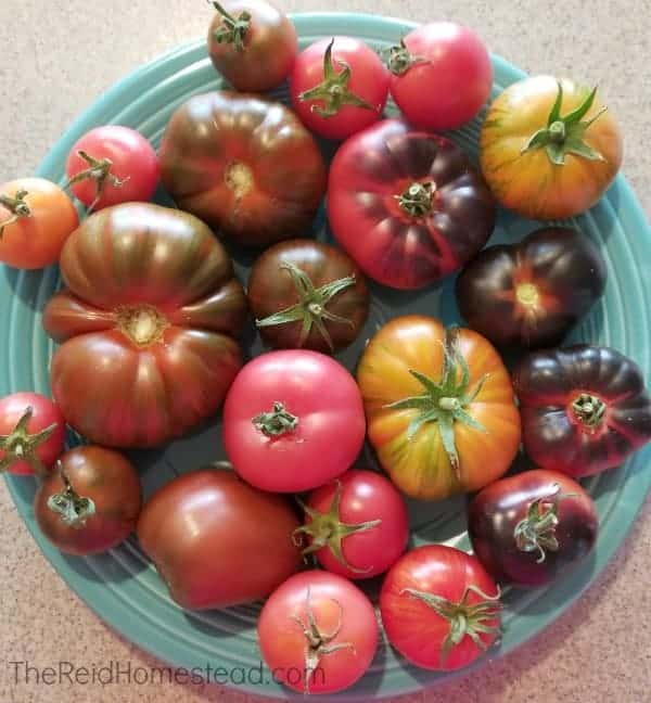 a large selection of homegrown heirloom tomatoes on a turquoise plate