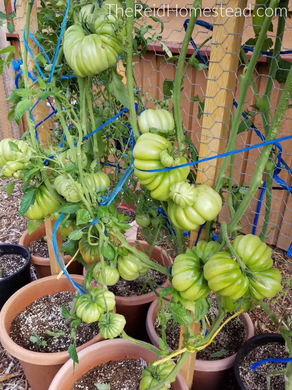 a Mushroom Basket Heirloom tomato plant loaded with tomatoes after being pruned throughout the season.