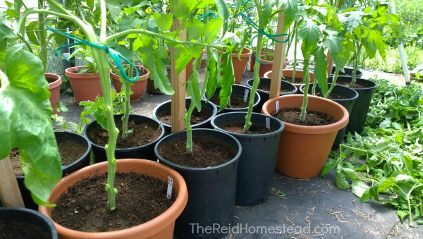 tomato plants that have been pruned at the bottom