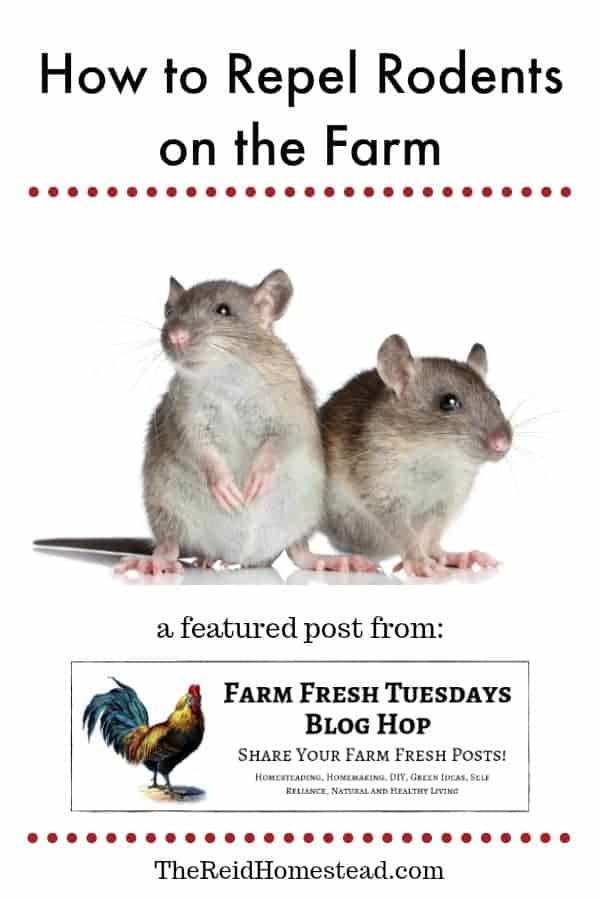 rats with text overlay How to get rid of rodents on the farm