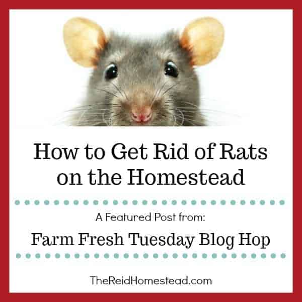 How to Get Rid of Rats on the Homestead