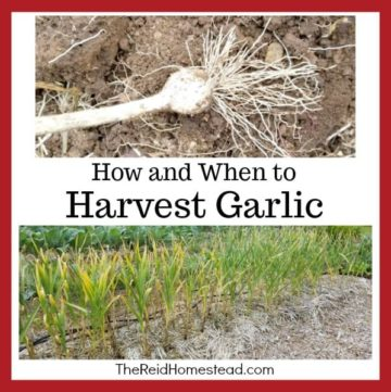 garlic plants with text overlay How and When to Harvest Garlic
