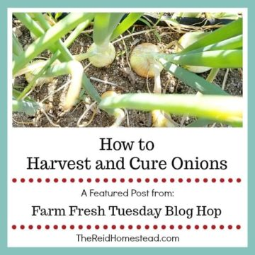 onions in garden with text overlay How to Harvest and Cure Onions