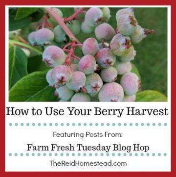 blueberries on bush with text overlay How to Use Your Berry Harvest