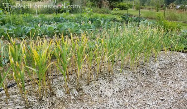 row of garlic in the garden