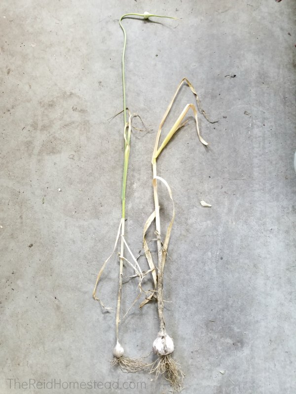 two garlic plants after harvest, one with scape on and one where the scape was harvested earlier
