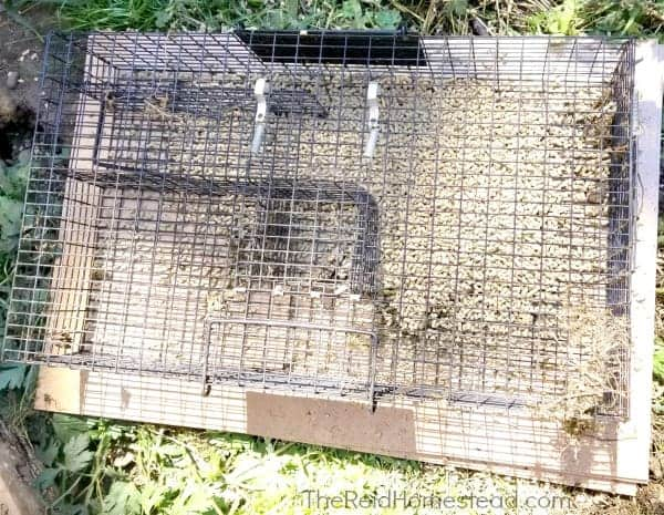a ratinator trap baited with layer pellets