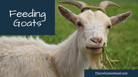goat with text overlay feeding goats