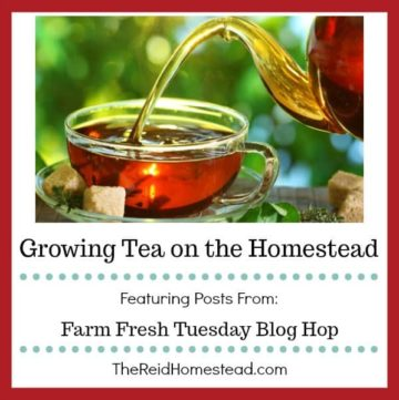 cup of tea with text overlay Growing Tea on the Homestead