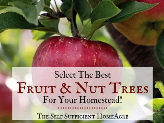 apples on apple tree with text overlay Select the Best Fruit and Nut trees for Your Homestead