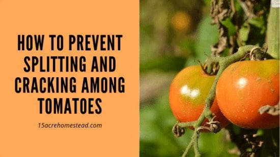 tomatoes on plant with text overlay How to Prevent Cracking and Spliting among your tomatoes