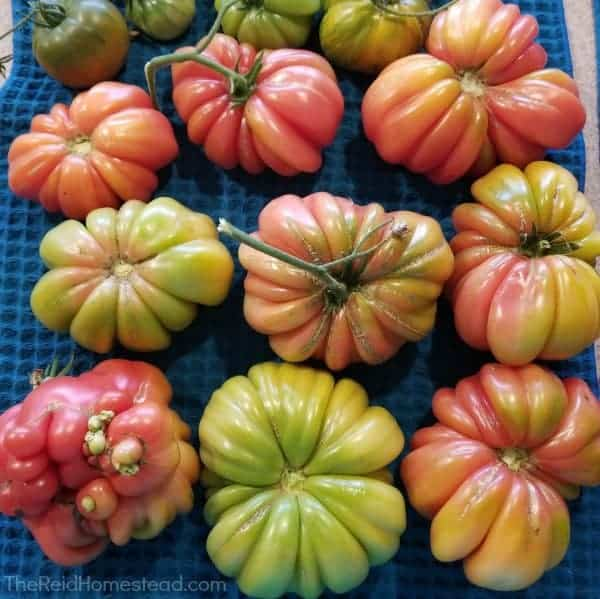 home grown heirloom mushroom basket tomatoes