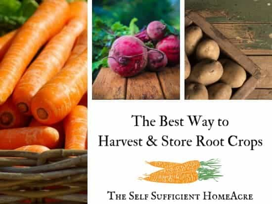 carrots, beets and potatoes with text overlay The Best Way to Harvest & Store Root Crops