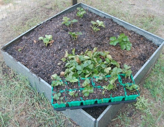 raised strawberry bed with strawberry runner starts