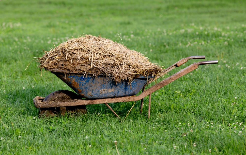 Wheelbarrow with spent straw animal bedding on the grass