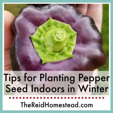 close up photo of purple bell pepper with text overlay Tips for Planting Pepper Seed Indoors in Winter