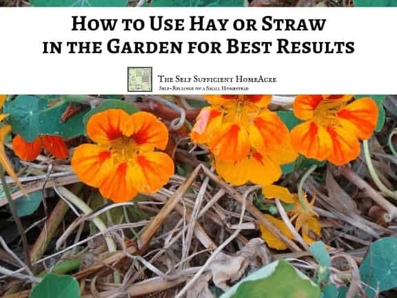 close up of nasturtiums in the garden that have been mulched with straw with text overlay How to Use Hay or Straw in the Garden for Best Results