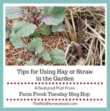 vegetables mulched with straw with text overlay Tips for using hay or straw in the Garden