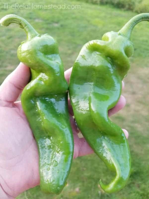 two giant home grown anaheim chile peppers