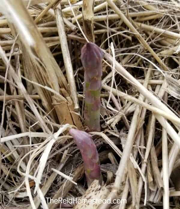 asparagus coming up in spring through straw mulch