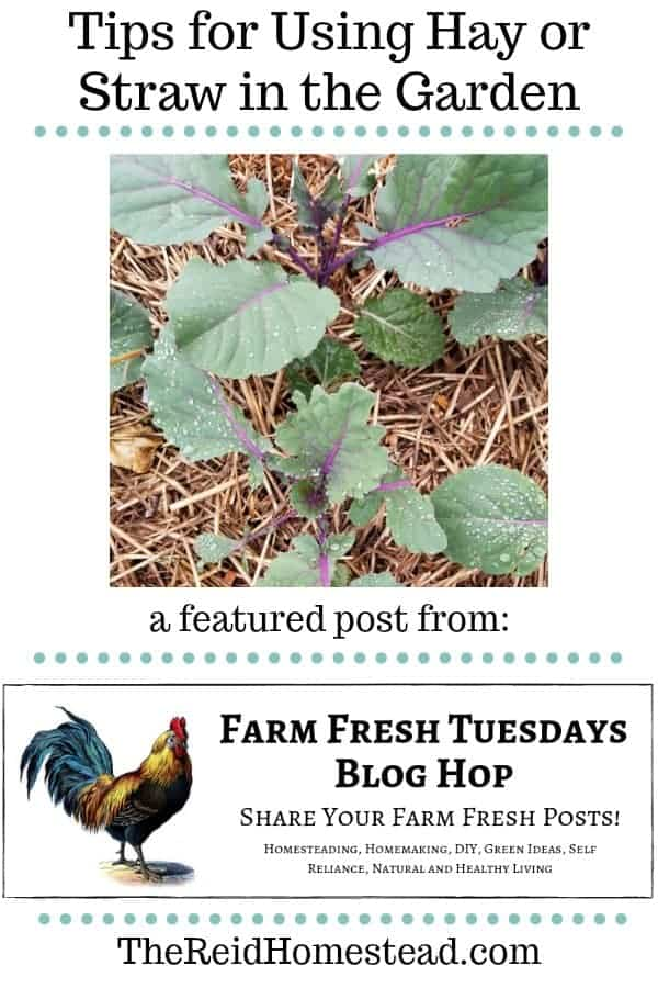 broccoli plants mulched with straw with text overlay tips for using hay or straw in the garden