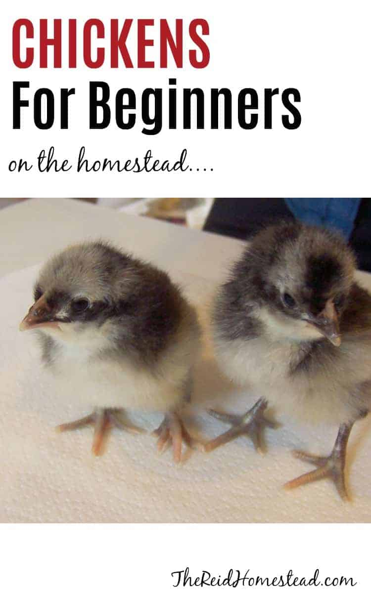 2 baby chicks with text overlay chickens for beginners on the homestead