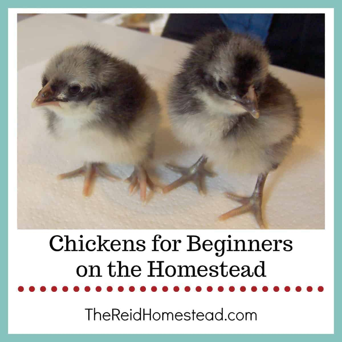 Chickens for Beginners on the Homestead