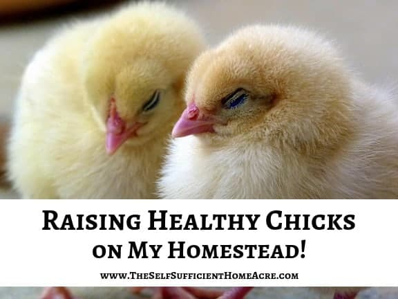2 baby chicks with text overlay raising healthy chicks on my homestead