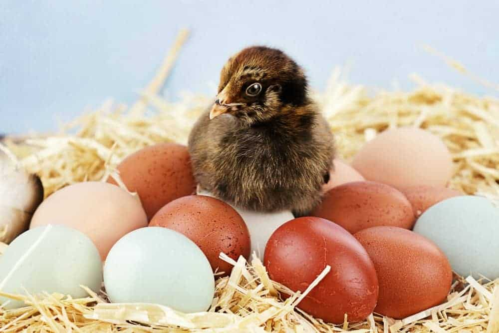 chick sitting on colorful blue and brown eggs
