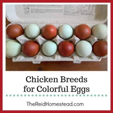 carton of blue and dark brown eggs with text overlay Chicken Breeds for Colorful Eggs